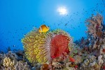 Actinia and Anemonefish